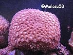 Pagoda cup coral