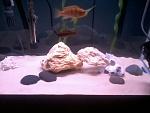 my cichlids and crayfish