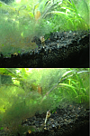Malaysian Trumpet Snails have been busy eating algae off the tank walls, plants, and gravel.