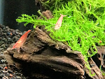 New cherries hanging out on flame moss and Malaysian DW