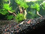 Shrimp out of focus but nice shot of flame moss on Manzanita DW