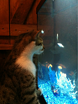"""My cat watching """"his fish"""". Don't worry, he loves them like they're his.... And if not... I have a tight lid!"""