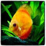 my stendker discus fish
