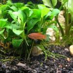 55g Planted- Nano fish