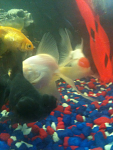 4/5 of my fancy goldfish two fantails oranda and black moor