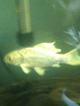 Butterfly koi about 5 inches