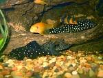 clown loach, LDA33 (big spot), L260 (queen arabesque), albino bristlenose, chinese algae eater