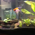 55g Angelfish & Zebra Loaches