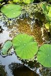 lotus 05 25 13