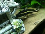 The senior citizen of the tank, my striped Raphael catfish.