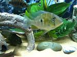 Threadfin Heckelli