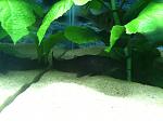 My hoplo catfish