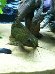 My syno Eupterus