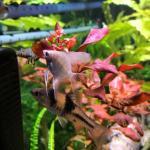 New angelfish 171104a
