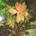 160905a Red Stem Plants