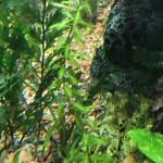Tank rescape 6 unknown stem plant a
