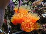 sun coral