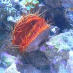Flame Scallop 2
