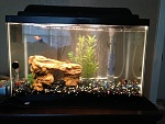 My 10 gallon, freshwater tropical aquarium!!