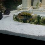 Id this cichlid please