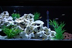72 Bow Front African Cichlids