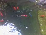 This is my betta swimming in the deep end of my pond.