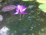 This is a lilly in my pond.