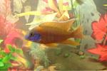 Help identifying cichlids