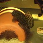 My bristlenose male