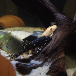 One of my Juvie Adonis plecos with an l-144