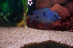Blue dolphin I have had since juvy.
