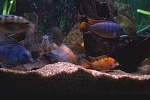 The cichlids are hungry!