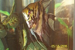 My marble angelfish
