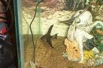 Baby black veil tailed angelfish