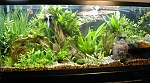 Heavily planted, CO2 160-watt with adult angel, dwarf gourami, serpae tetras, otos and cory cats