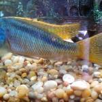 Buccochromis nototaenia (my fav)