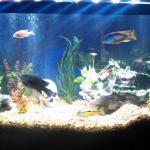 70g cichlid aquarium