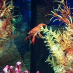 Orange Crayfish trying to jump on fish