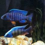 Regal blue & Taiwan Reef