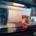 New Red Claw Crab Tank