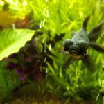 My freshwater aquariums