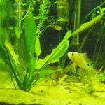 Red melon sword and male Bolivian Ram