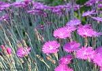 pinkflowerssilver med