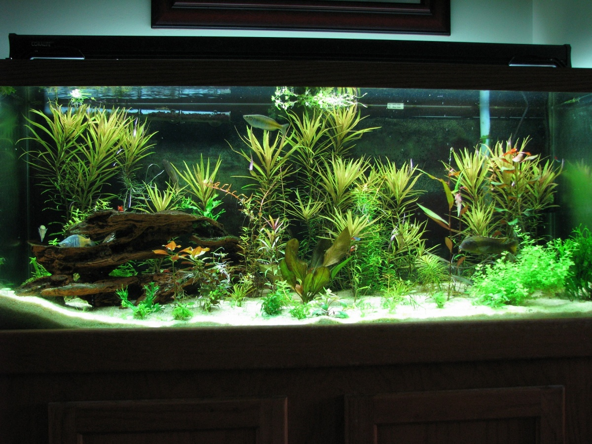Aquarium travel on pinterest aquascaping planted for Planted tank fish
