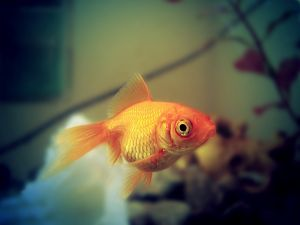 680686_golden_fish