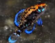 E.gilberti