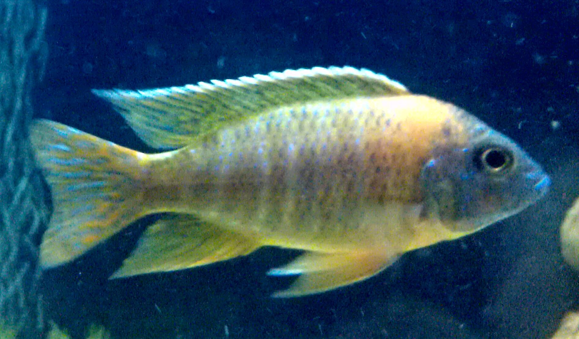 Lake Malawi and Aquarium Stocking Cichlids - Aquarium Advice
