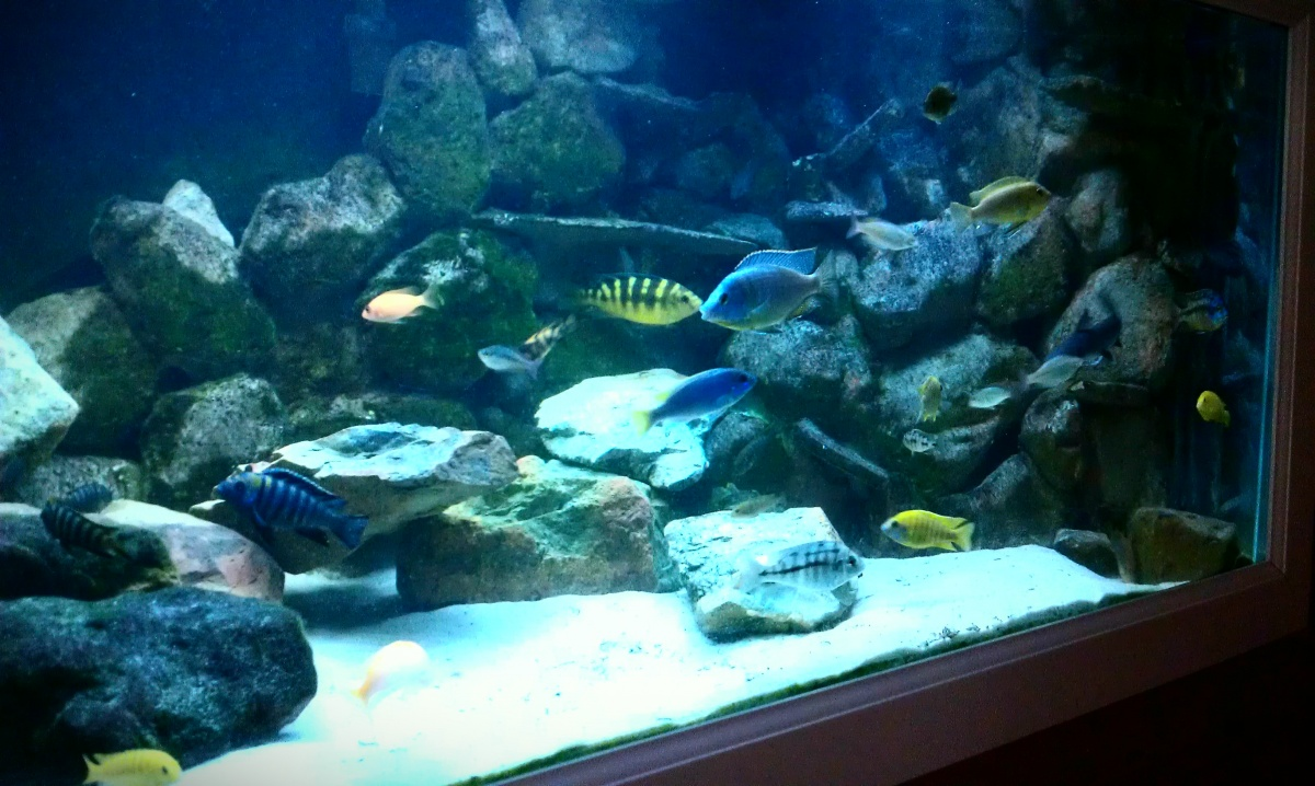 Lake malawi mbuna stocking d cor and hardware aquarium for African cichlid tank decoration