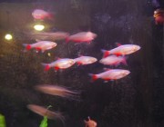 School of bloodfin tetras
